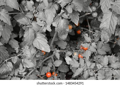 Monochrome tomato with separated red tomatoes. Location: Germany, North Rhine-Westphalia, Borken