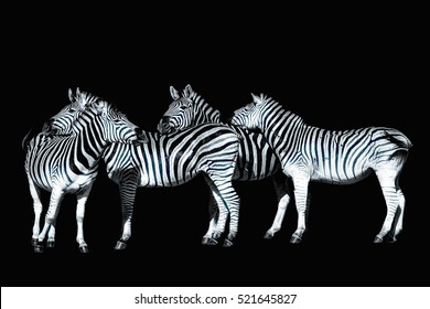 Monochrome wildlife portrait,zebra group,South Africa,black background,black and white,symbolic,figurative,relaxing,fun,pause,break,team,together,rely on,teaming,harmony,confidence,trust,peaceful,cozy