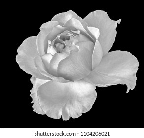 Monochromer fine art still life floral macro flower image of a single isolated flowering blooming rose blossom, black background,detailed texture,vintage painting style