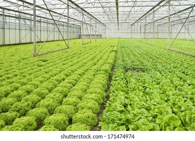 Monoculture of Salad plants growing in glasshouse in summer - horizontal