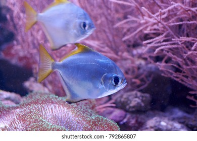 Monodactylus argentus or silver moonyfishes near a reef