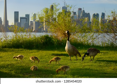 Monogamous mated pair of Canada Geese with five goslings on Toronto Island with city skyline
