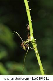 Monomorium floricola ant