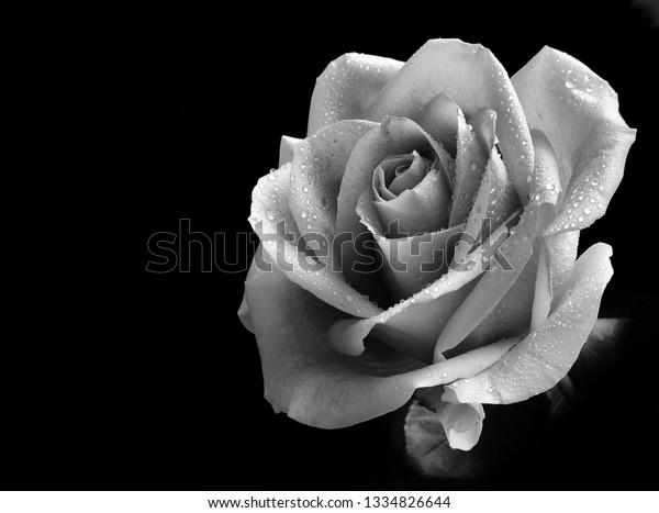 monotone-image-single-rose-dewdrops-600w