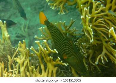 Monotypic genus Orange-lined triggerfish is a demersal triggerfish. Balistapus undulatus with dark brown to dark green body with orange lines that start behind the head and cover the rest of its body.