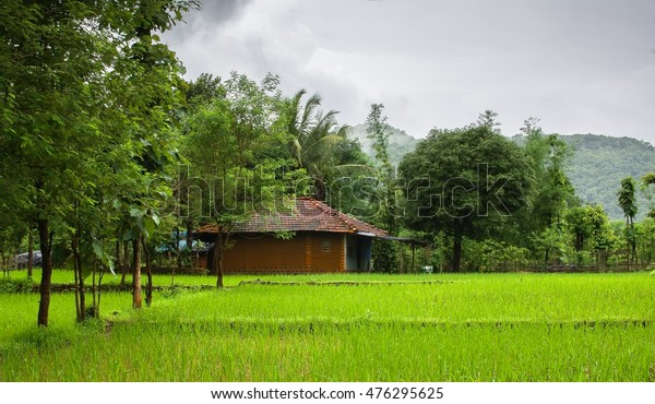Monsoon scene from Indian Village. Paddy fields in the foreground