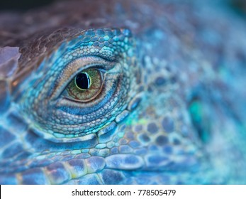 A monster reptile eye. Blue colorful skin of an iguana and a big open eye.
