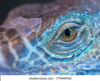 A monster reptile eye. Blue colorful skin of iguana and a big open eye.