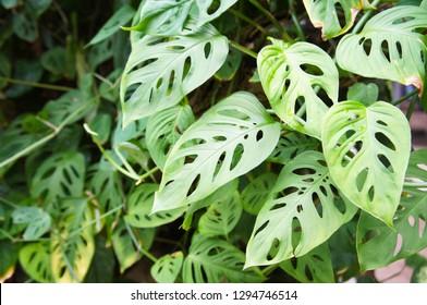 Monstera adansonii or swiss cheese plant green leaves