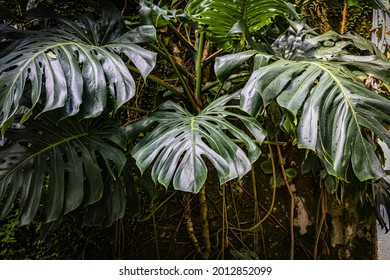 Monstera deliciosa big green leaves. Swiss cheese plant. Trendy home gardening background with Green palm Monstera leaves. Visual indoor Eco-Friendly Trend. Home office design. Nature background