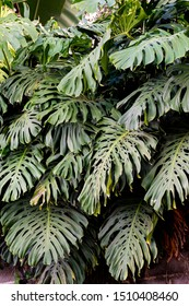 """Monstera deliciosa,  the ceriman, The specific epithet deliciosa means """"delicious"""", referring to the edible fruit, while monstera means """"monstrous,"""" in reference to the size that this plant can grow"""