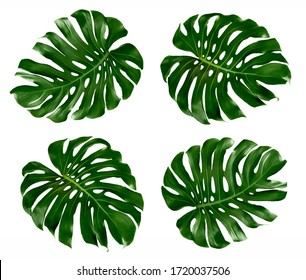 Monstera deliciosa leaf( Herricane plant, Swiss cheese plant) tropical isolated on white background.