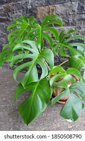Monstera deliciosa leaf. Tropical leaf in brown pot. Interior plants. This plants include the order alismatales, family araceae, subfamily monsteroideae, and species monstera deliciosa Liebm. Popular