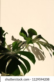 Monstera deliciosa leaves, also called the swiss cheese plant in front of a white wall