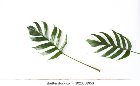 Monstera deliciosa Liebm. leaves on a white background