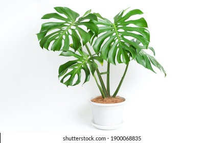 Monstera Deliciosa plant in white platic pot with isolated white background