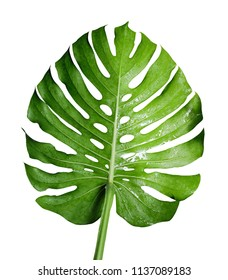 Monstera deliciosa or swiss cheese plant tropical leaf and water drop isolated on white background with clipping path