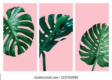 Monstera deliciosa or swiss cheese plant tropical leaves and water drop isolated on pink background