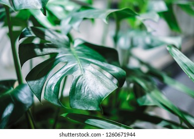 Monstera deliciosa or swiss cheese plant in pot tropical leaves background