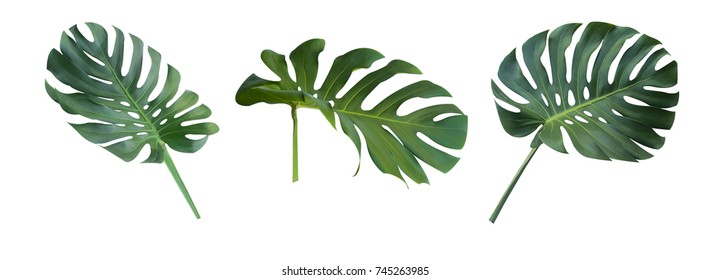 Monstera Deliciosa or Swiss Cheese Plant leaf texture, a large evergreen tropical jungle palm leaf with hole pattern isolated on white