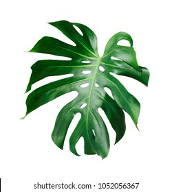 Monstera deliciosa tropical leaf isolated on white background with clipping path
