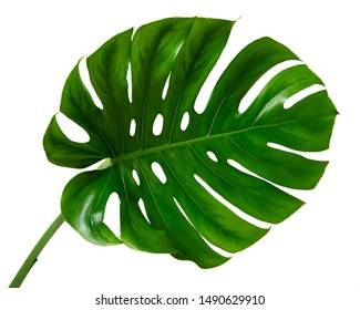Monstera deliciosa tropical leaf isolated on white background.