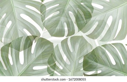 Monstera flower translucent background. Tropical leaf. Beautiful summer background.