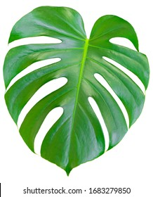 Monstera green juicy fresh leaf isolated on a white background
