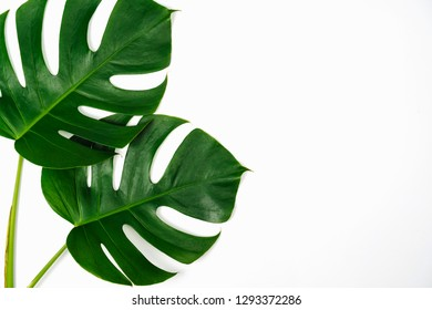 Monstera green leaf isolated on white background in flat lay style and top view. Palm leaf, Real tropical jungle foliage Swiss cheese plant.