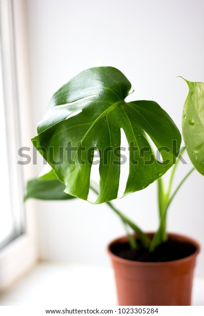 Monstera green potted plant in a house window