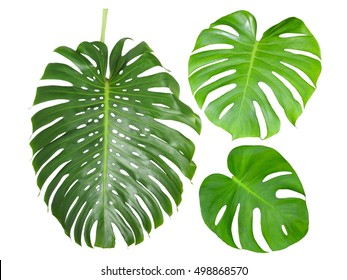 Monstera jungle rain forest big shiny green leaf, known as Swiss cheese or hurricane plant, isolated on white background