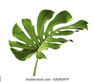 Monstera large green jungle leaf unique tropical design pattern, Swiss Cheese Plant, isolated on white background, with clipping path