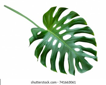 Monstera large green leaf, exotic tropical rain forest design pattern, Swiss Cheese Plant, isolated on white background, closeup