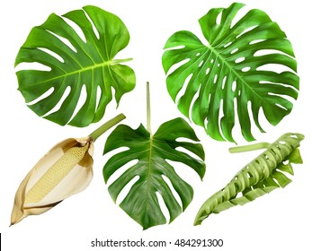Monstera large green  leaves and fruit isolated on white background