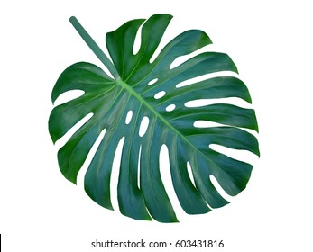 Monstera large leaf, isolated on white background, symbolic of tropical paradise , unique holes and splits compliment flower designs.  Also called Cheese Plant.