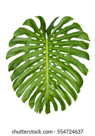 Monstera large rain forrest, jungle leaf design pattern, Swiss Cheese Plant, isolated on white background