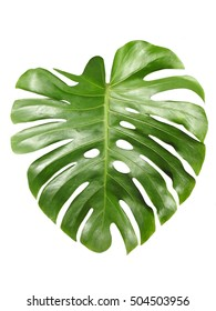 Monstera large shiny green leaf, tropical jungle design, aka Swiss cheese plant, isolated on white background