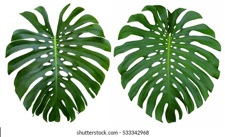 Monstera large tropical jungle leaves, Swiss Cheese Plant design pattern, isolated on white background