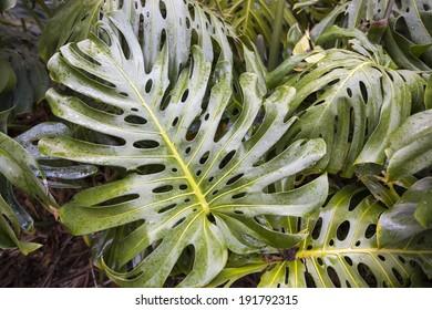 Monstera leaf in the botanical gardens of Puerto de la Cruz, Tenerife