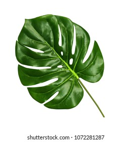 Monstera leaf isolated on white background, top view. Tropical palm leaf close up.