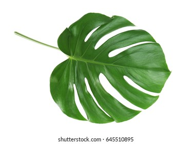 Monstera leaf, isolated on white
