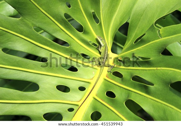 stock photo Hawaiian monstera reaf