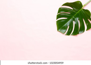 Monstera leaf on color background. Palm leaf, Real tropical jungle foliage Swiss cheese plant. Flat lay and top view.