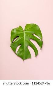 monstera leaf on pink background