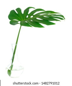 Monstera leaf on vase isolated on white, summer background, Sweet spring concept, design with copy space for text, advertising and banner.