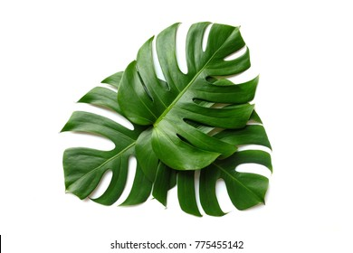 monstera leaf on white background