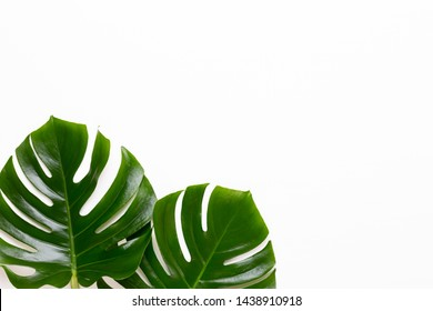 Monstera leaf on white wooden background. Palm leaf, Real tropical jungle foliage Swiss cheese plant. Flat lay and top view.
