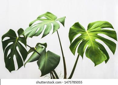 monstera leaf , philodendron pot plant