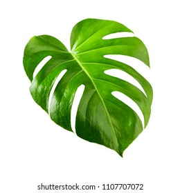 Monstera leaf, swiss cheese tropical plant isolated on white background clipping path included
