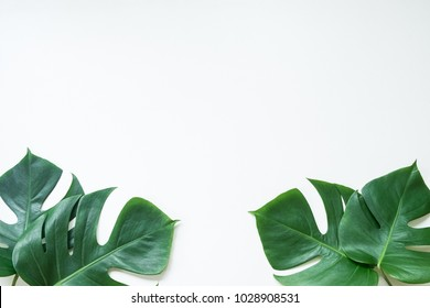 Monstera leave on white background